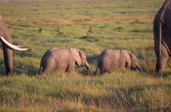 Rare 3 month old elephant twins, Amboseli National Park. First born in Kenya for 38 years - Free image #455371