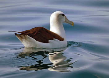 The white-capped albatross (Thalassarche cauta steadi) - image gratuit #455521