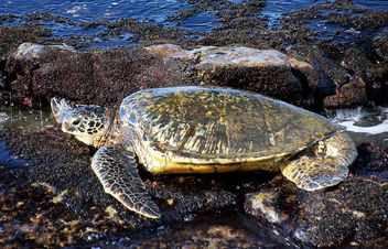 Sea Turtle.Maui. - Free image #455891