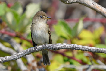 Willow Flycatcher - image #456051 gratis