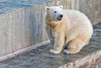 white bear Shilka, was born in Novosibirsk, now he lives in Japan - image #456421 gratis