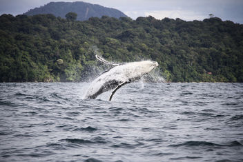 Humpback whales dancing and saying hello - image #456621 gratis