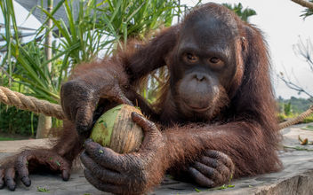 Breakfast with orangutan - image #456661 gratis