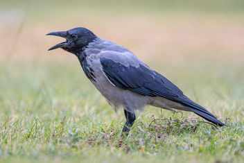 Hooded Crow - image #456721 gratis