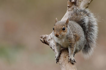 Squirrel - RSPB Sandy - Free image #456891