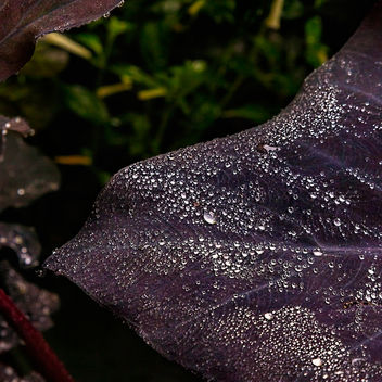 Wet Purple Leaf.jpg - image #457011 gratis