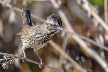 Song Sparrow - image #457121 gratis