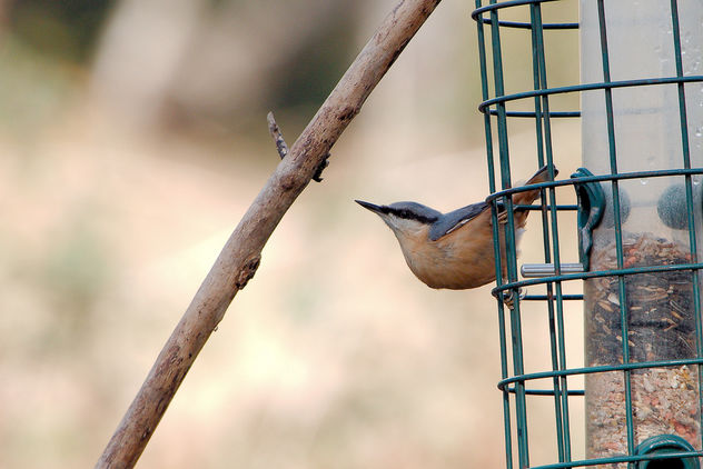 Nuthatch - Free image #457181