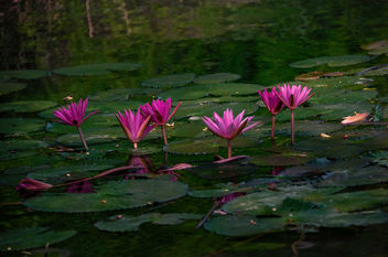 Water Lillies - Kostenloses image #457191