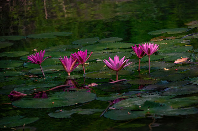 Water Lillies - image #457191 gratis