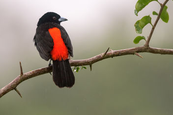 Scarlet-rumped Tanager in the rain - image gratuit #457791