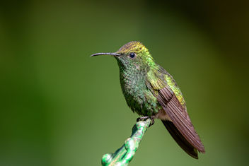 Coppery-headed Emerald Hummingbird - image gratuit #458001
