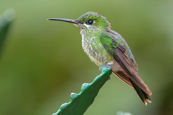 Green-crowned Brilliant Hummingbird - Kostenloses image #458031