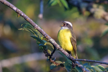 Social Flycatcher - Kostenloses image #458051
