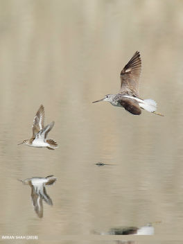 Common Greenshank (Tringa nebularia) & Common Sandpiper (Actitis hypoleucos) - Free image #458421