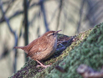 Wren at Leighton Moss. #wren #LeightonMoss #RSPB #NatureReserve #Silverdale #Lancashire #bird #birdwatching #birding #nature #birdportrait #wildlife #animal #fauna - image #458571 gratis