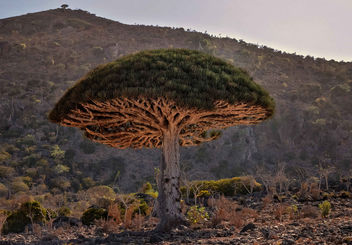 Dragon's Blood Tree - Kostenloses image #458611