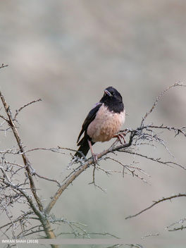 Rosy Starling (Pastor roseus) - Kostenloses image #458781