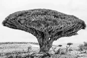 Dragon's Blood Trees - Kostenloses image #458881
