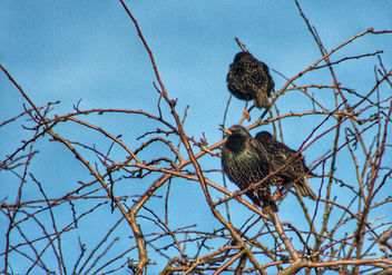 Starling - Kostenloses image #458921
