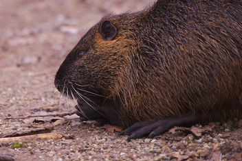 The day I met a nutria - Free image #459021