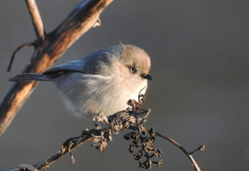 Small puffball of winter bird - Free image #459051