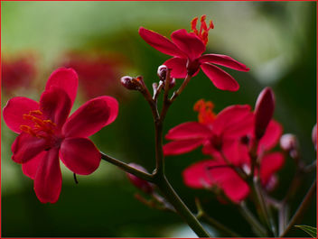 17Feb2019 - striking red flowers - Kostenloses image #459241