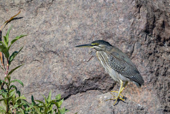 Striated Heron - Free image #459311