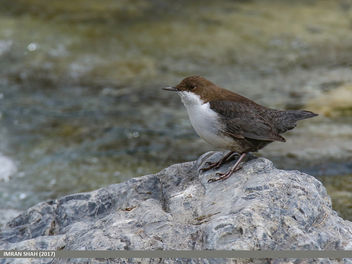 White-throated Dipper (Cinclus cinclus) - Free image #459341