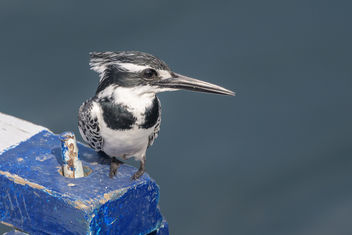 Pied Kingfisher - Free image #459451