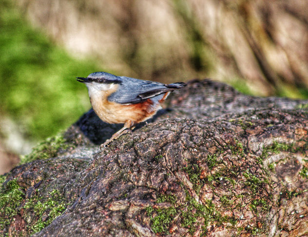 Nuthatch - Free image #459601