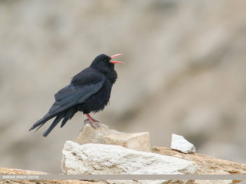 Red-billed Chough (Pyrrhocorax pyrrhocorax) - image #460201 gratis