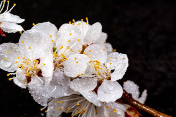 Beautiful apricot flowers on black background - Free image #460491
