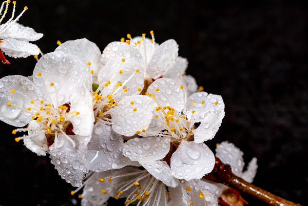 Beautiful apricot flowers on black background - image #460491 gratis