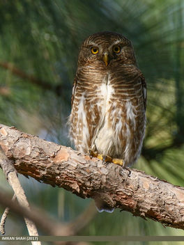 Asian Barred Owlet (Glaucidium cuculoides) - image #460631 gratis