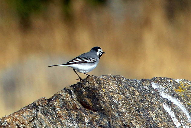 The stone and wagtail... - image gratuit #460981
