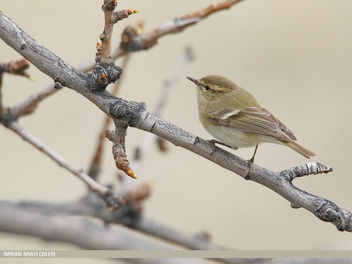Hume's Warbler (Phylloscopus humei) - Free image #461021
