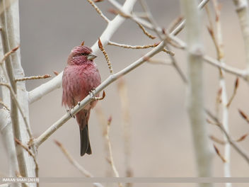 Red-Mantled Rosefinch (Carpodacus rhodochlamys) - Free image #461091