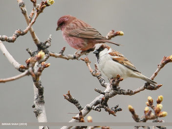 House Sparrow (Passer domesticus) - Free image #461261