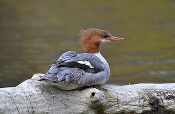 Female Merganser - image gratuit #461281