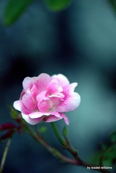 Pink rose by iezalel williams - Canon EOS 700D - Kostenloses image #461601