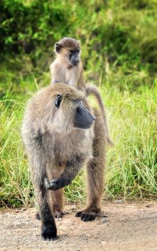 Olive Baboons - Free image #461691