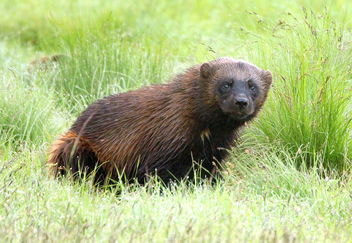 The wolverine in the wilderness - image #461801 gratis