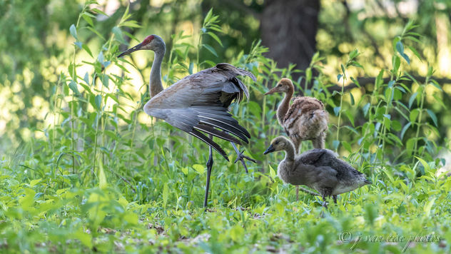 Family ~ Adopted Canada Gosling, Mom Sandhill Crane Stretching, and Brother Sandhill Crane Colt ~ Papa Sandhill Crane is always nearby, keeping his family safe ~ Branta canadensis and Antigone canadensis ~ Kensington Metropark, Michigan - image #462901 gratis