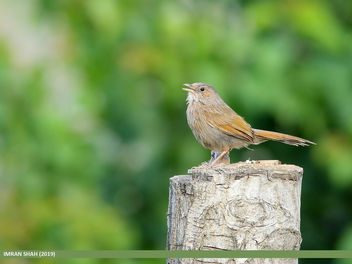 Streaked Laughingthrush (Trochalopteron lineatum) - Free image #462961