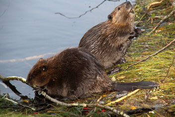 Two of this year's beaver puppies - image #463261 gratis