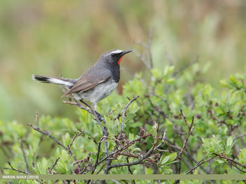 White-tailed Rubythroat (Luscinia pectoralis) - бесплатный image #463871