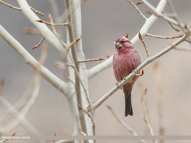 Red-Mantled Rosefinch (Carpodacus rhodochlamys) - Free image #463901