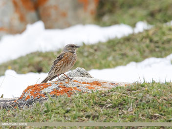 Altai Accentor (Prunella himalayana) - Free image #463911