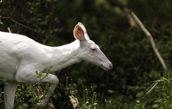 Elusive White Deer ~ Huron River and Watershed - image #464671 gratis
